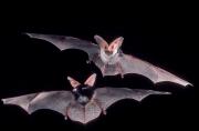 southwest U.S. spotted bats