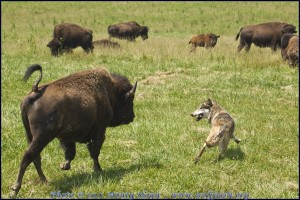 Wolf named Wotan among bison