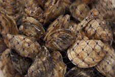 harvested oysters - photo courtesy of Safe Harbor Certified Seafood