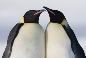 """Penguins are among 30 wildlife species in need of protection, and up for """"adoption"""" via  the Wildlife Adoption & Gift Center."""